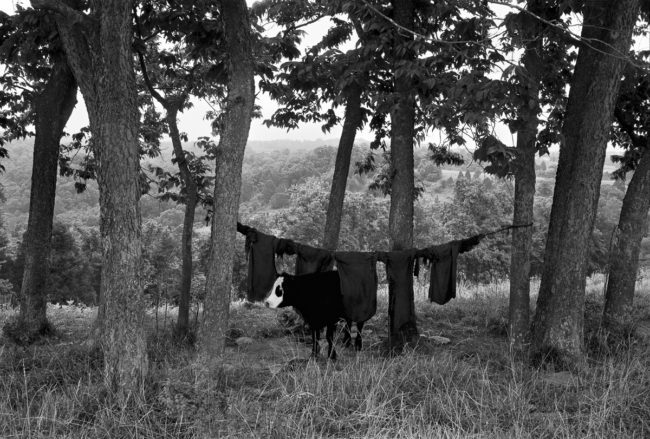Cow Rags by Guy Mendes